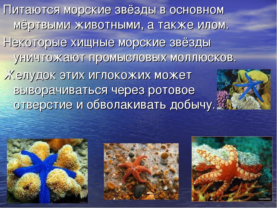 Питаются морские звёзды в основном мёртвыми животными, а также илом. Некоторы...