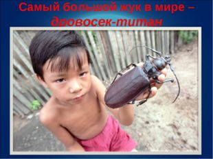 Самый большой жук в мире – дровосек-титан