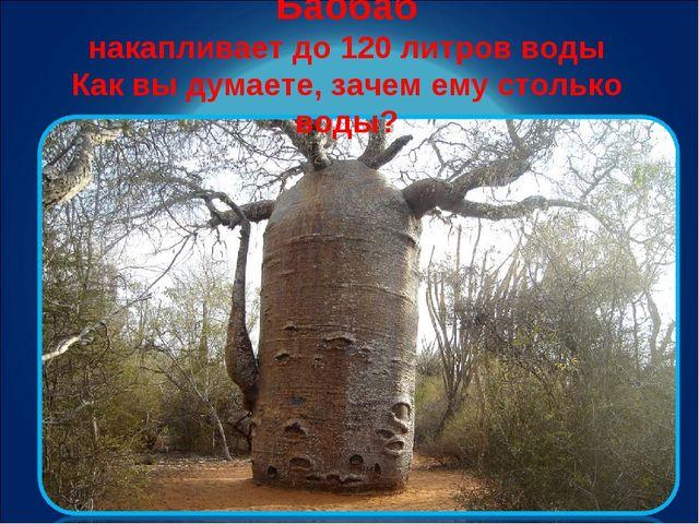 Баобаб накапливает до 120 литров воды Как вы думаете, зачем ему столько воды?