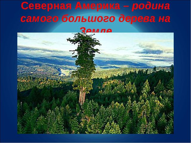 Северная Америка – родина самого большого дерева на Земле