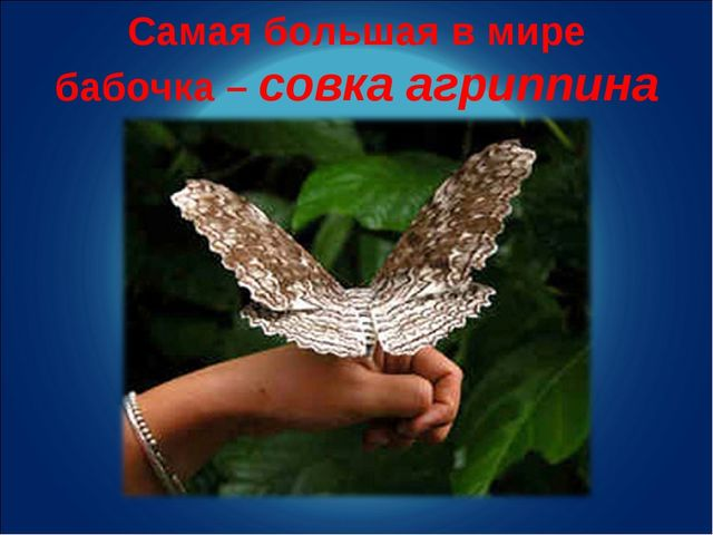 Самая большая в мире бабочка – совка агриппина