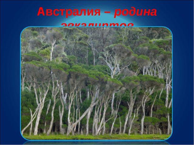 Австралия – родина эвкалиптов
