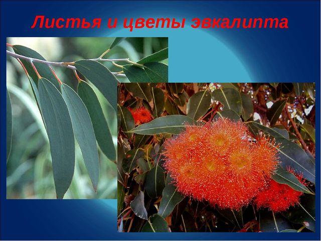 Листья и цветы эвкалипта