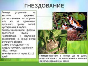 ГНЕЗДОВАНИЕ Птенцыпроводят в гнезде до 16 дней; родители кормят их насекомым