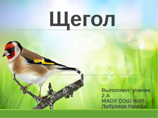 Щегол Выполнил: ученик 2 А МАОУ СОШ №35 Лобузнов Никита