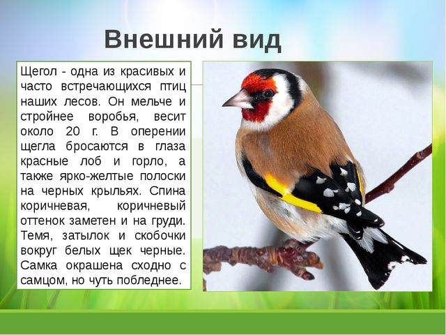 Внешний вид Щегол - одна из красивых и часто встречающихся птиц наших лесов....