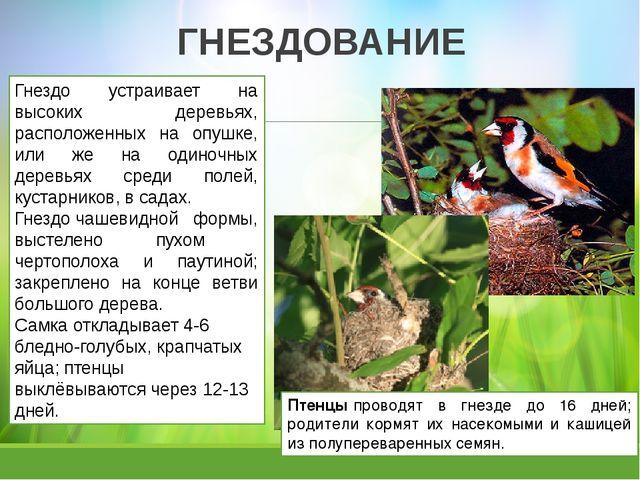 ГНЕЗДОВАНИЕ Птенцыпроводят в гнезде до 16 дней; родители кормят их насекомым...