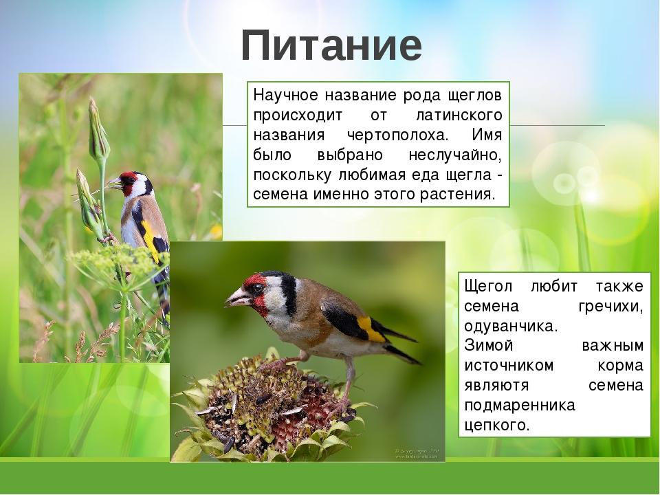 Питание Научное название рода щеглов происходит от латинского названия чертоп...