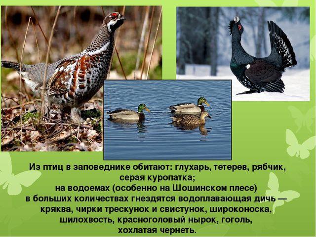 Из птиц в заповеднике обитают: глухарь, тетерев, рябчик, серая куропатка; на...