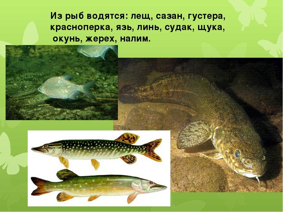 Из рыб водятся: лещ, сазан, густера, красноперка, язь, линь, судак, щука, оку...