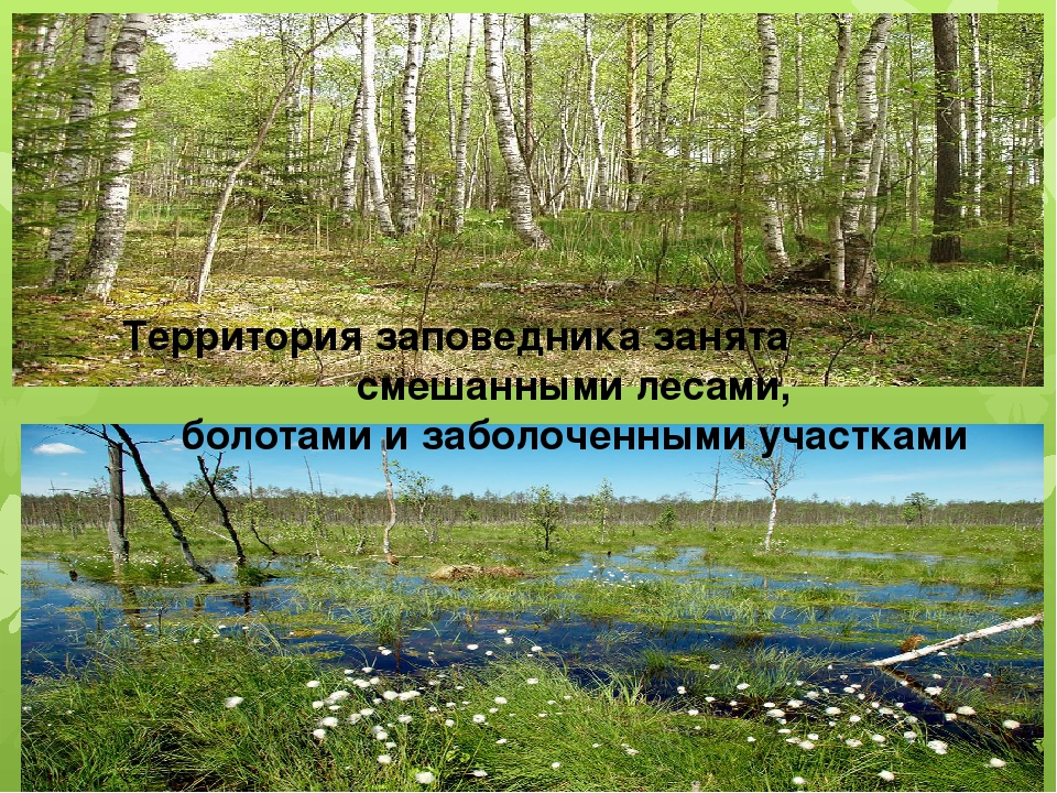 Территория заповедника занята смешанными лесами, болотами и заболоченными уч...