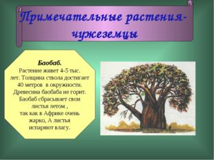 Баобаб. Растение живет 4-5 тыс. лет. Толщина ствола достигает 40 метров в окр