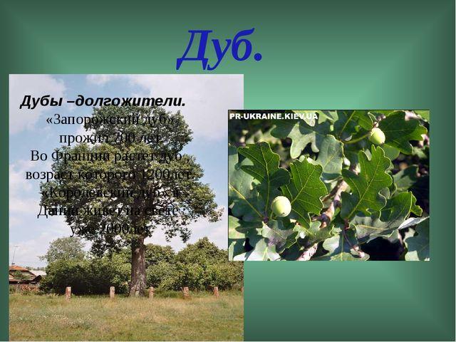 Дуб. Дубы –долгожители. «Запорожский дуб» прожил 700 лет. Во Франции растет д...