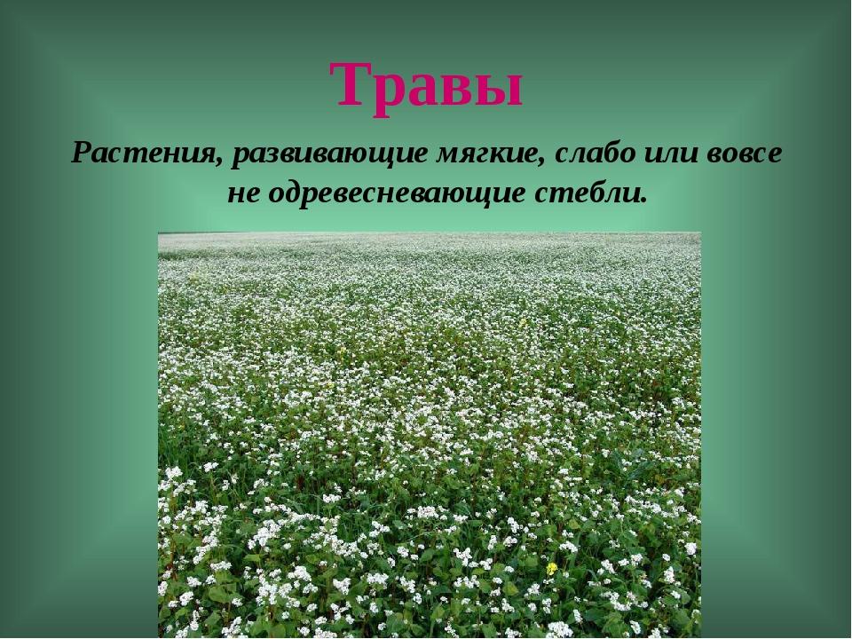 Травы Растения, развивающие мягкие, слабо или вовсе не одревесневающие стебли.