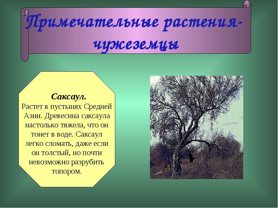 Примечательные растения- чужеземцы Саксаул. Растет в пустынях Средней Азии. Д...