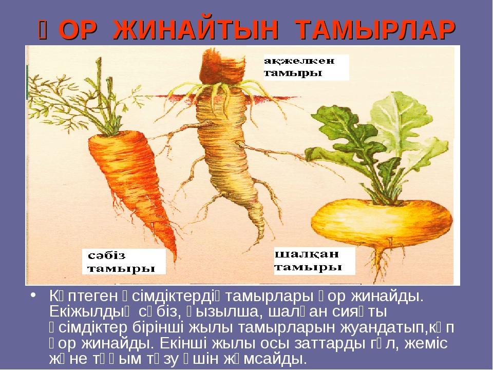 ҚОР ЖИНАЙТЫН ТАМЫРЛАР Көптеген өсімдіктердіңтамырлары қор жинайды. Екіжылдық...
