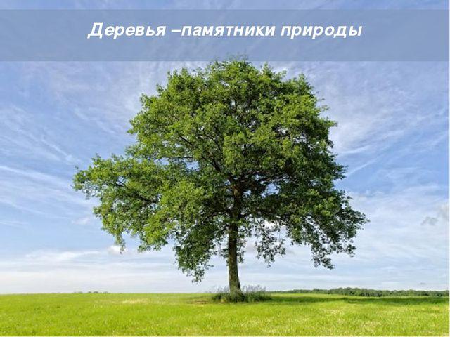 Powerpoint Templates Деревья –памятники природы Powerpoint Templates Page *