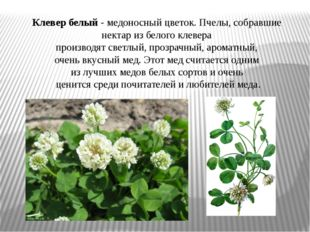 Клевер белый- медоносный цветок. Пчелы, собравшие нектар из белого клевера п