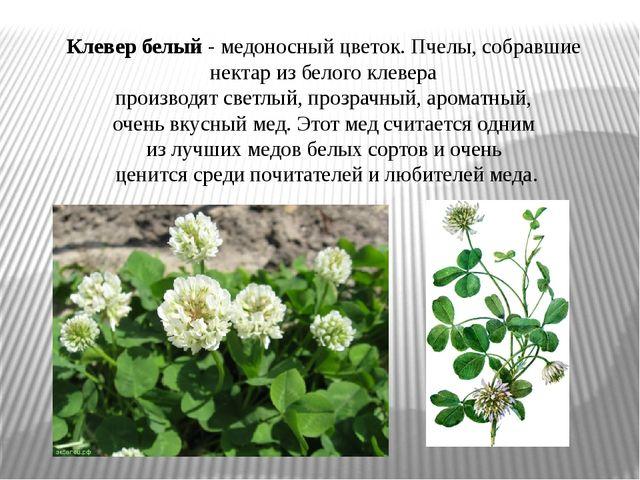 Клевер белый- медоносный цветок. Пчелы, собравшие нектар из белого клевера п...