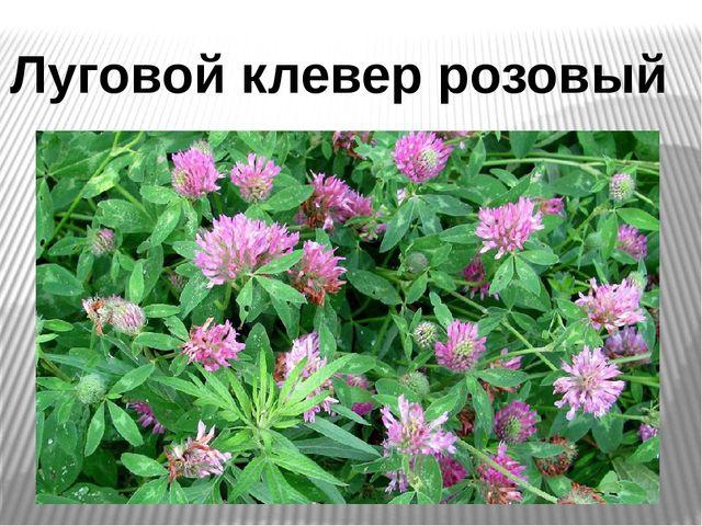 Луговой клевер розовый