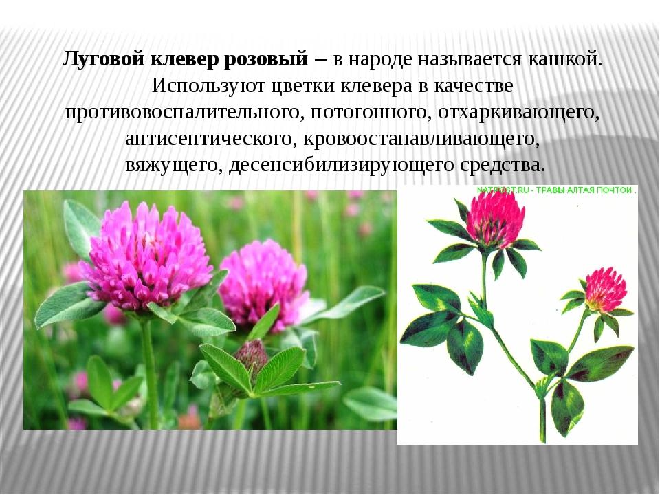 Луговой клевер розовый– в народе называется кашкой. Используют цветки клевер...