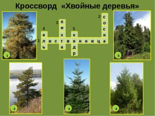 Кроссворд «Хвойные деревья» л и с т в е н н и ц а е ь п и х а к д р с о с н 1
