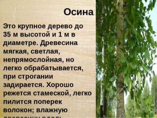 Осина Это крупное дерево до 35 м высотой и 1 м в диаметре. Древесина мягкая,