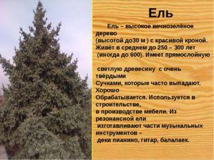 Ель Ель – высокое вечнозелёное дерево (высотой до30 м ) с красивой кроной. Жи