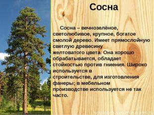 Сосна Сосна – вечнозелёное, светолюбивое, крупное, богатое смолой дерево. Име
