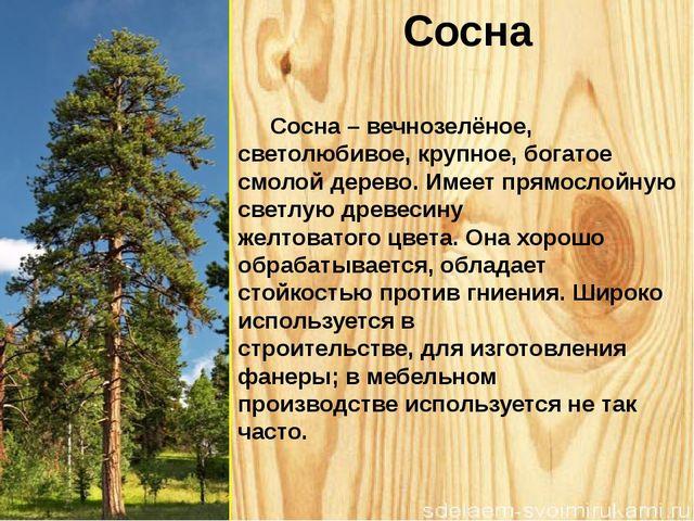 Сосна Сосна – вечнозелёное, светолюбивое, крупное, богатое смолой дерево. Име...