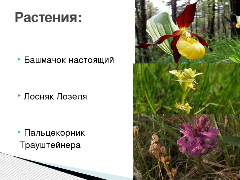 Башмачок настоящий Лосняк Лозеля Пальцекорник Трауштейнера Растения: