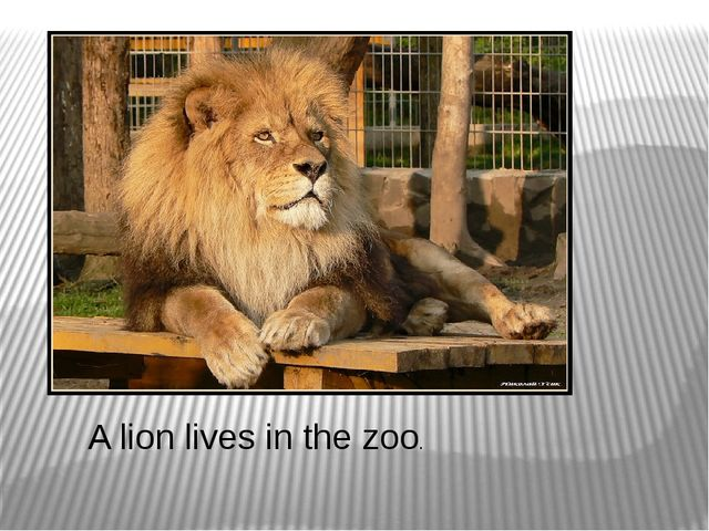 A lion lives in the zoo.
