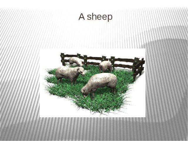 A sheep