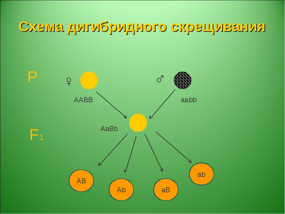 Схема дигибридного скрещивания Р F1 AABB aabb AaBb ♀ ♂ AB Ab aB ab