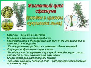 Сфагнум – двудомное растение Спорофит в виде круглой коробочки Количество спо