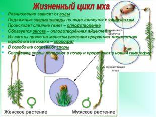 Размножение зависит от воды Подвижные сперматозоиды по воде движутся к яйцекл