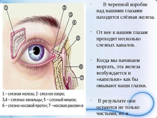 В черепной коробке над нашими глазами находится слёзная железа. От нее к наш...
