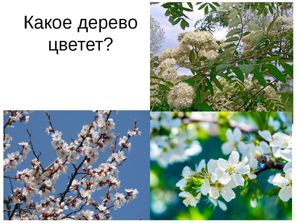 Какое дерево цветет?