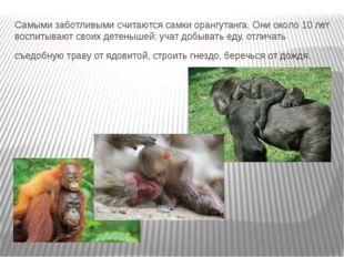 Самыми заботливыми считаются самки орангутанга. Они около 10 лет воспитывают