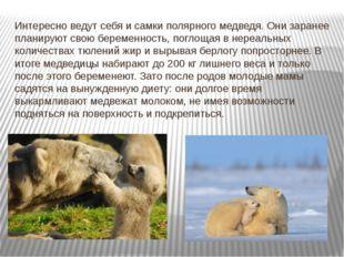 Интересно ведут себя и самки полярного медведя. Они заранее планируют свою бе