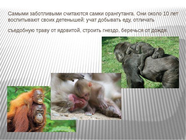 Самыми заботливыми считаются самки орангутанга. Они около 10 лет воспитывают...