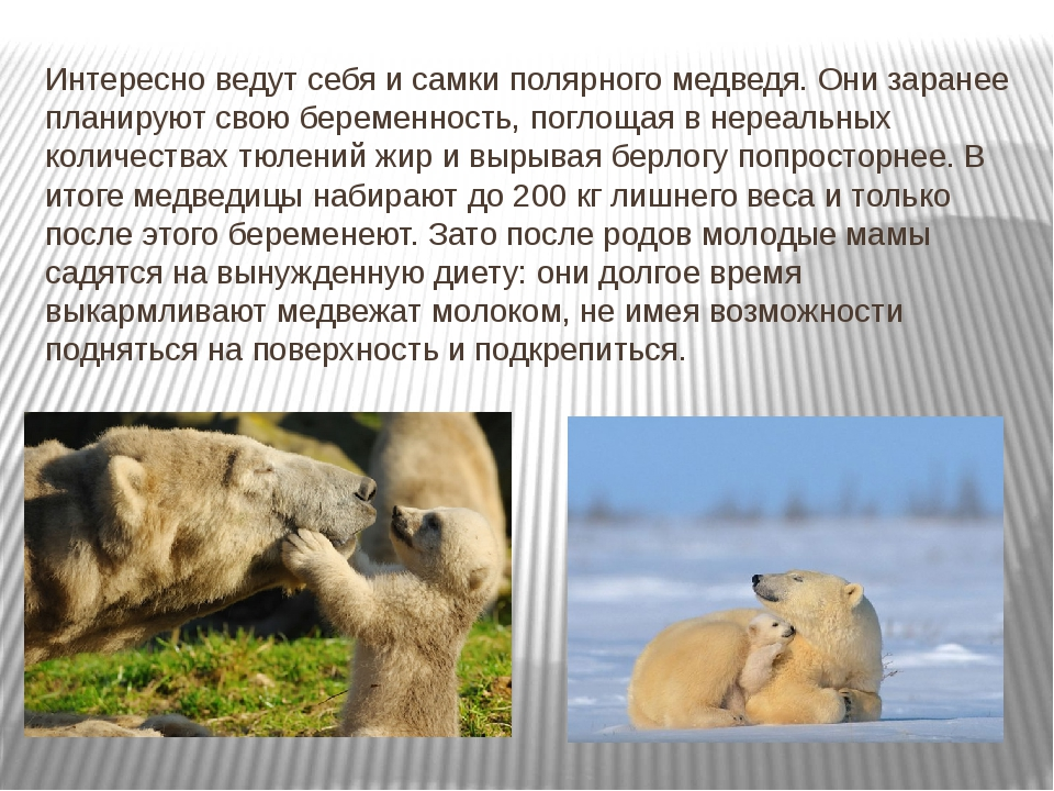 Интересно ведут себя и самки полярного медведя. Они заранее планируют свою бе...