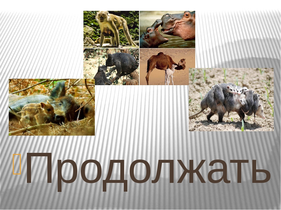 Продолжать описывать примеры проявления материнского инстинкта у животных мо...