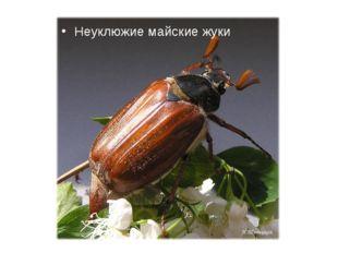 Неуклюжие майские жуки