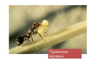 Труженики муравьи