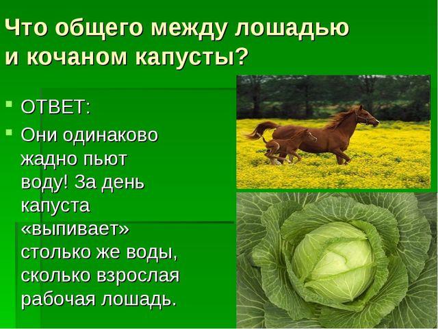 Что общего между лошадью икочаном капусты? ОТВЕТ: Они одинаково жадно пьют в...