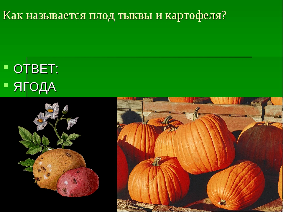 Как называется плод тыквы и картофеля? ОТВЕТ: ЯГОДА