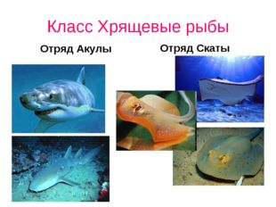 Класс Хрящевые рыбы Отряд Акулы Отряд Скаты