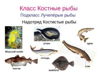 Класс Костные рыбы Подкласс Лучепёрые рыбы Надотряд Костистые рыбы угорь Морс