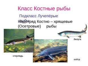 Класс Костные рыбы Подкласс Лучепёрые рыбы Надотряд Костно – хрящевые (Осетро